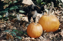 Runt sniffs the pumpkin