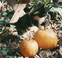 Runt steps delicately onto the pumpkin to sniff further